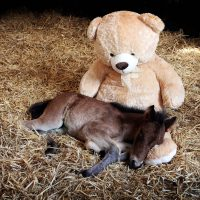 A orphaned Dartmoor Hill Pony called Breeze snuggles up with a teddy bear at the Mare and Foal Sanctuary in Newton Abbot, Devon. Breeze sleeps with the teddy every night to keep him comforted.  29/05/2013