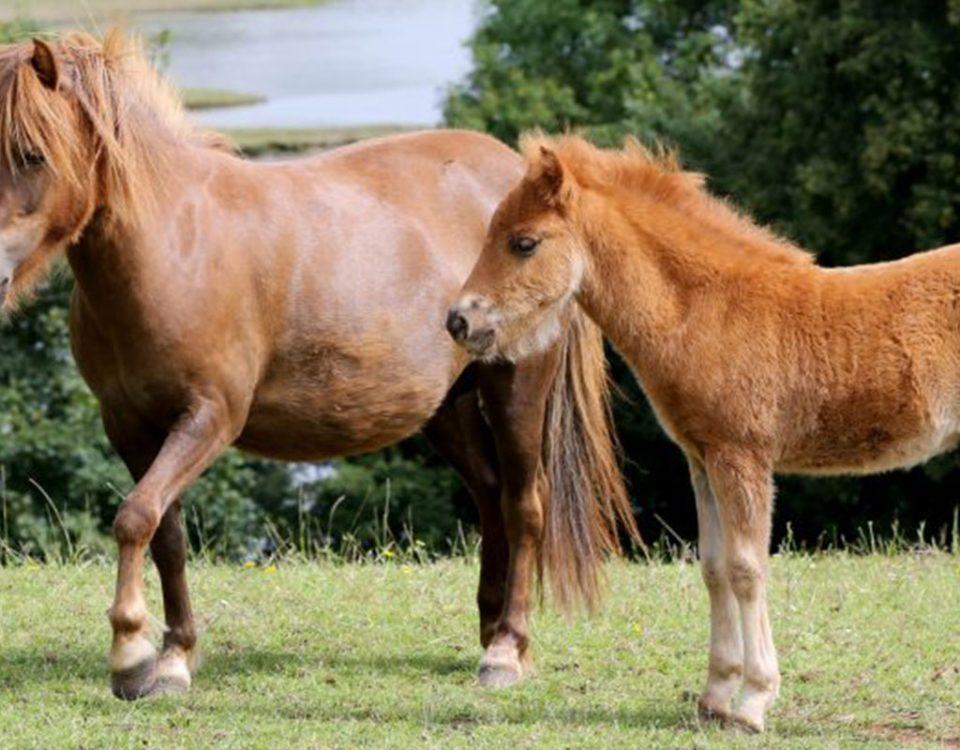 horses-ponies-you-help-rescue-this-year-river-ruby