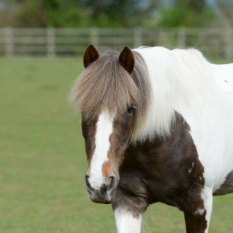 Adopt-horse-william