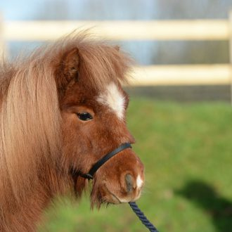 miniature-horse-adoption