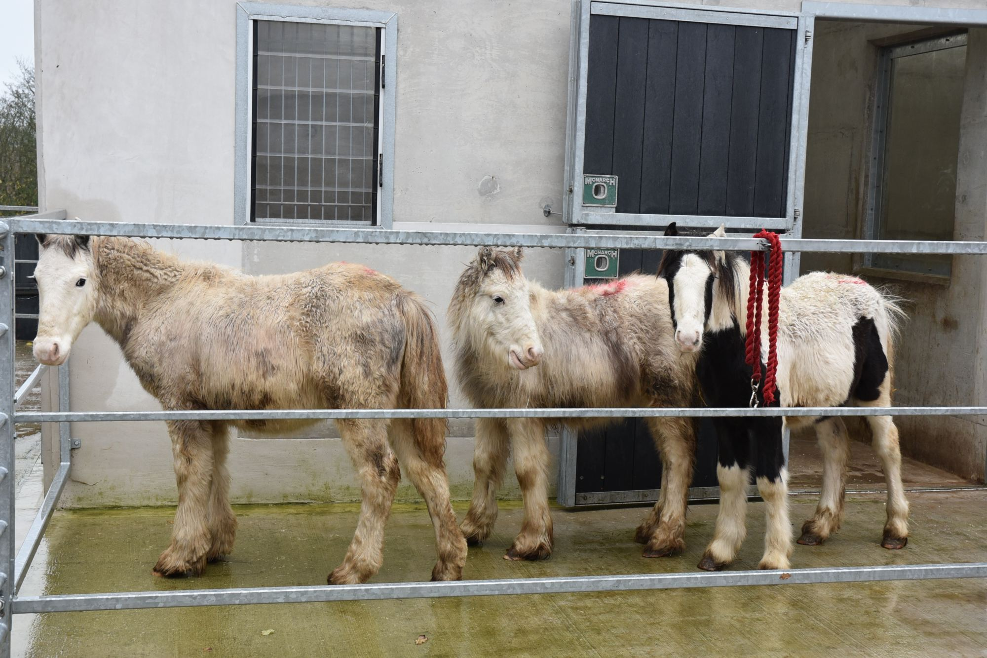 Whispering-Willows-rescued-ponies-cobs-arrival-Beech-Trees-Veterianry-Welfare-Centre-Devon