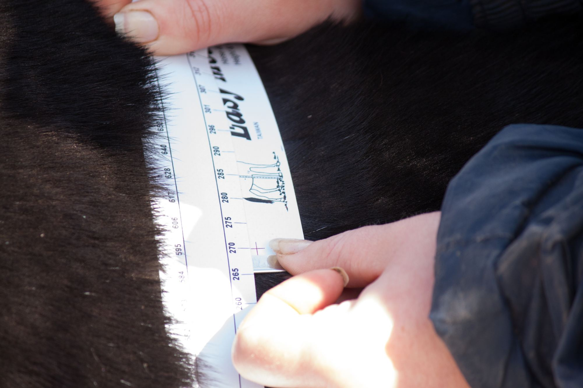 equine-weight-tape-horse-toffee