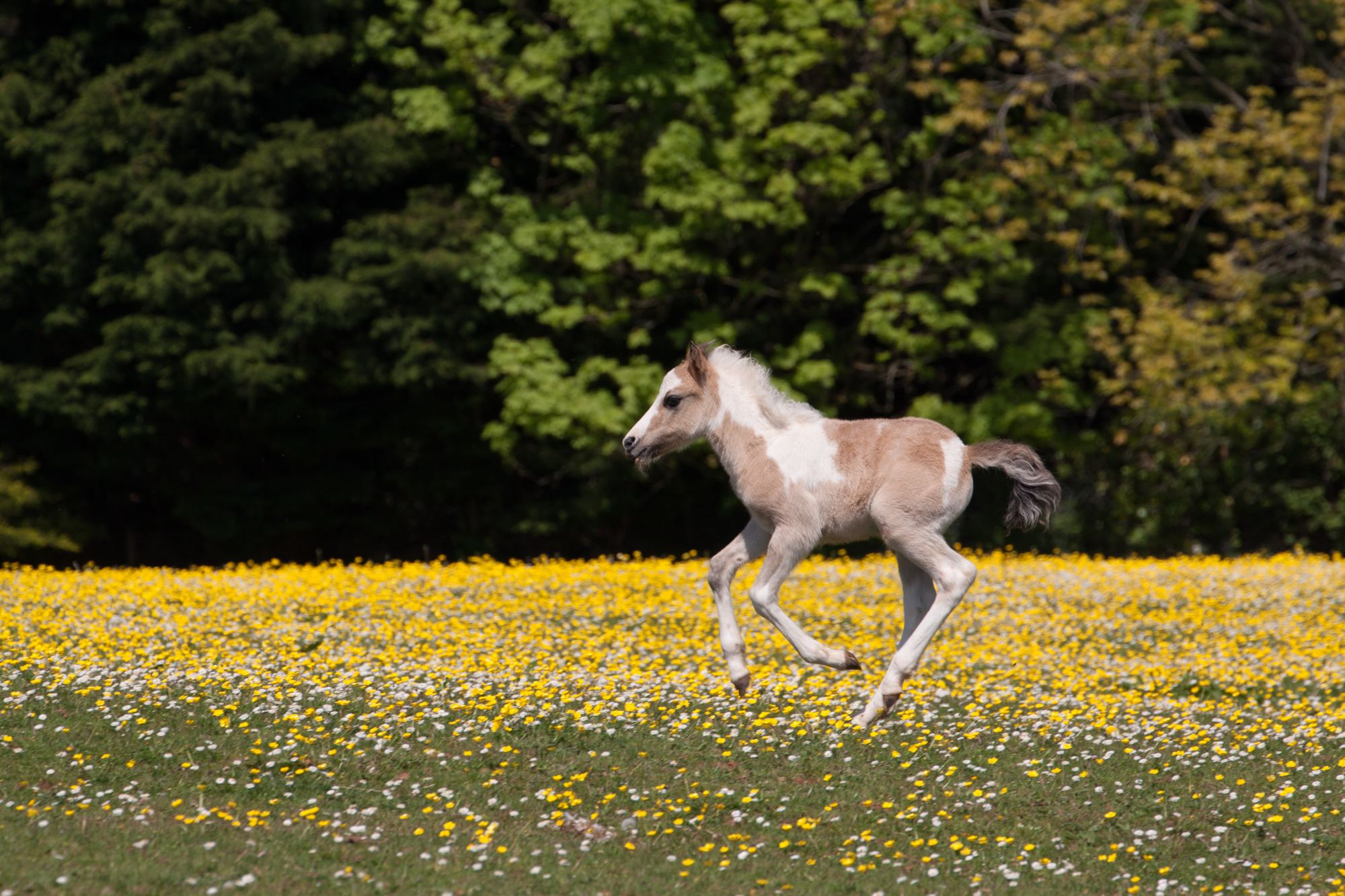 Foal-Lio-Galloping-Field-Buttercups
